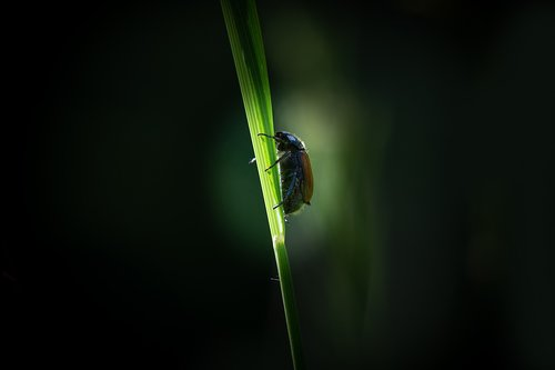 beetle  chafer  blade of grass