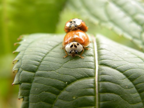 beetle  macro  ladybug