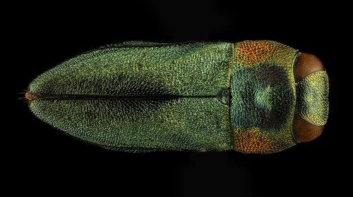 beetle  macro  mounted