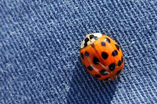 beetle  ladybug  insect