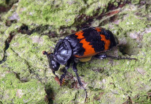 beetle  carapace  insect
