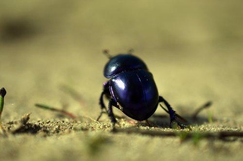 beetle  dung beetle  spring beetle