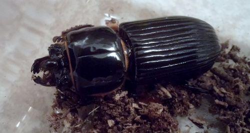 beetle beetles patent leather beetle