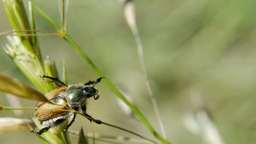 beetle chafer animals
