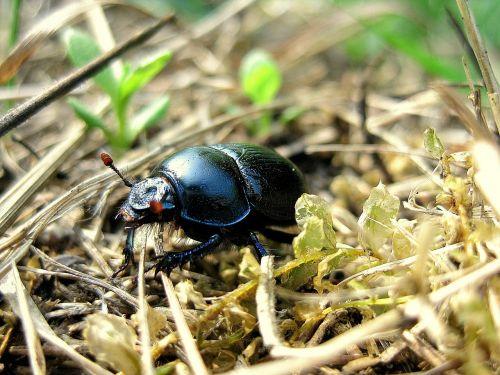beetle beasts field