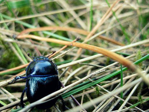 beetle animal macro