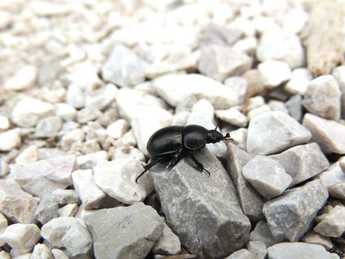 vabalas,juoda vabalas,vabzdys,akmenukas,steinchen,gyvūnas