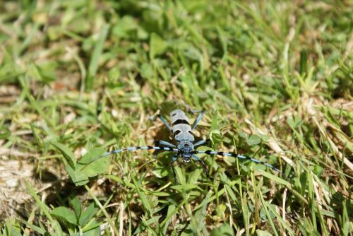 beetle bug rosalia