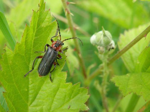 beetle insect longhorn beetles