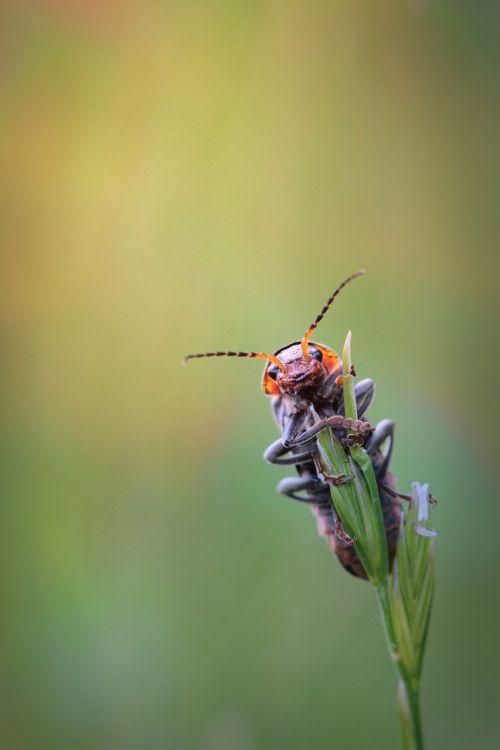vabalas,vabzdys,gyvūnas,makro,zondas,Uždaryti,skrydžio vabzdys,vabzdžių nuotrauka,gamta,žolės mentė,fauna,makro nuotrauka,vabzdžių makro,flora,gyvūnų pasaulis,vabalas makro,vasara,Vokietija,sulaikymas,gnybtas,nuskaityti,viršuje,žalias