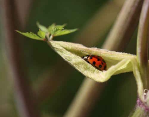 beetle leaf red