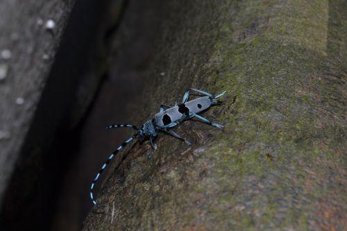 beetle alpine rosalia alpina pilis