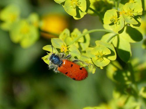 beetle meloideo false ladybird detail