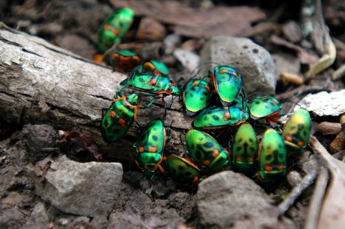 beetles christmas beetles insect