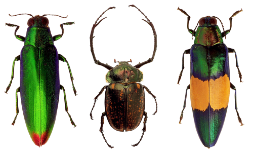 beetles insects nature