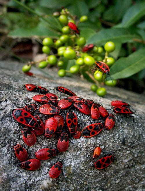 vabalai,vabzdžiai,įvykis,smithas wingless,makro,raudona,žalias,kongresas,grupavimas,Minia,gamta,sodas,maybug,vabalas,vabalas,vabzdys,priartinti,daugyba,raudonas vabalas,Iš arti