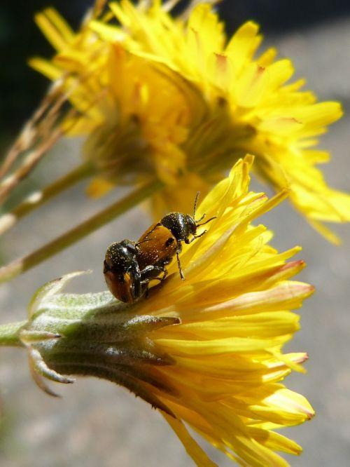 beetles ladybugs copulation