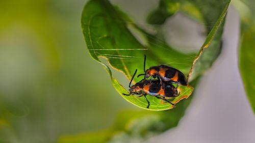 beetles for hanoi