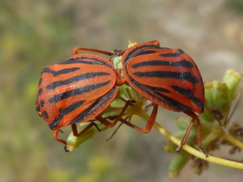 beetles bugs reproduction