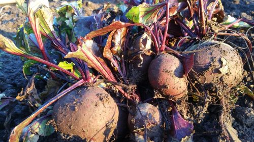 beetroot allotment growing