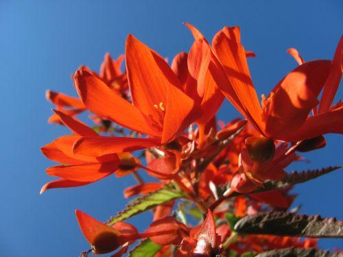 begonia blossom bloom