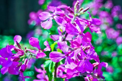 begonia flower ocimum begonia