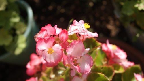 begonia  garden  houseplants