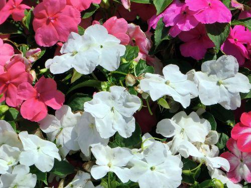 begonias jardiniere pink flowers