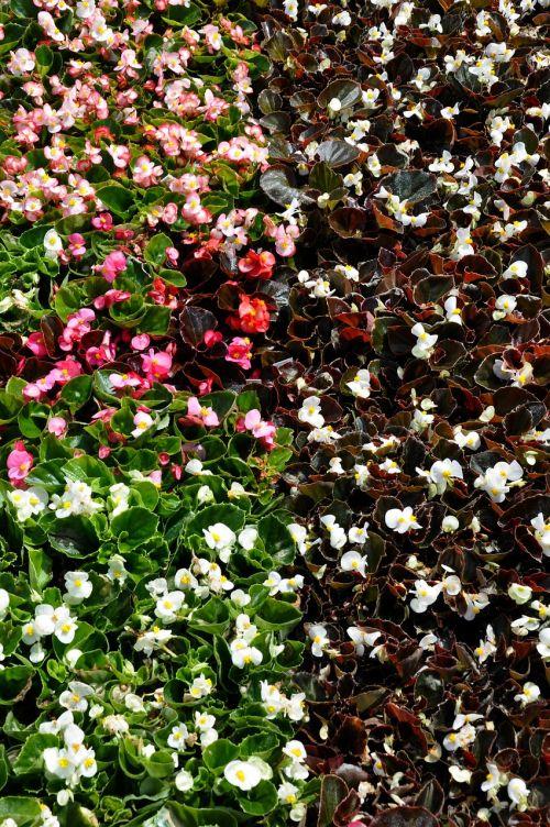 begonias shade blossom