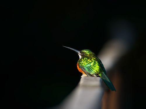 beija flor bird fauna