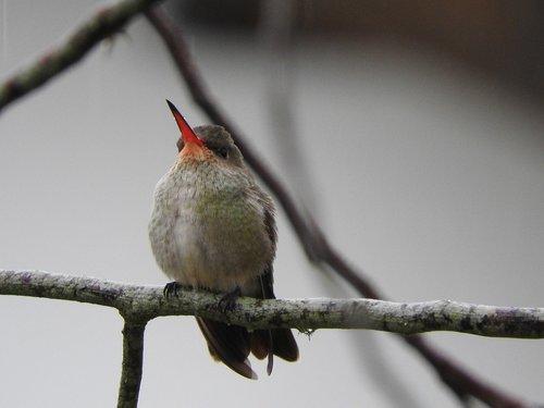 beija flor  bird  beak