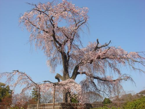 beijing cherry blossom the summer palace