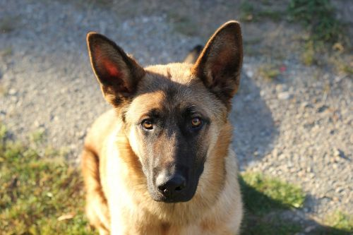 belgian sheepdog pet