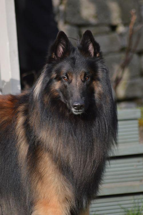 belgian shepherd male
