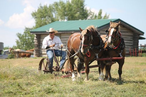 belgian horses team harness