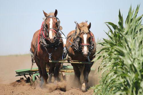 belgian horses harness team