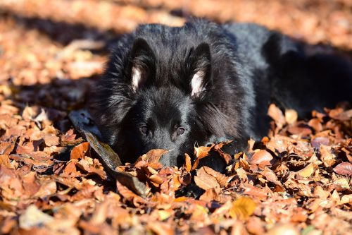 belgian shepherd dog groenendael animals