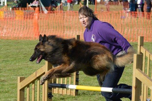 belgian shepherd dog  handler  agility
