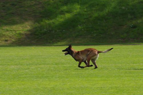belgian shepherd malinois dog running