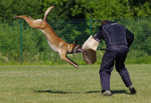 belgian shepherd malinois attack competition