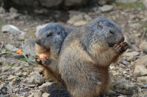 belgium marmots animal