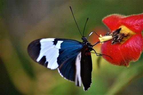 belize  toledo district  butterfly