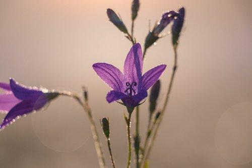 bell  flower  sun