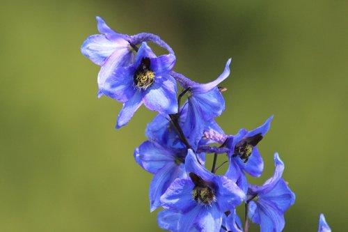 bell  blue bell  blue flower