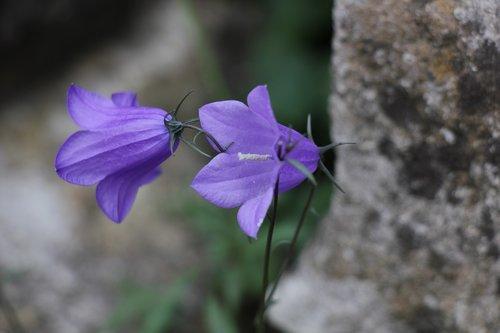 bell  flowers  flora
