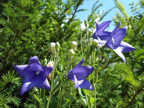 bell bluem flower campanula