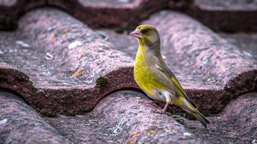 bell green carduelis chloris bird