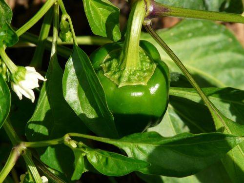 bell pepper plant pepper shrub paprika