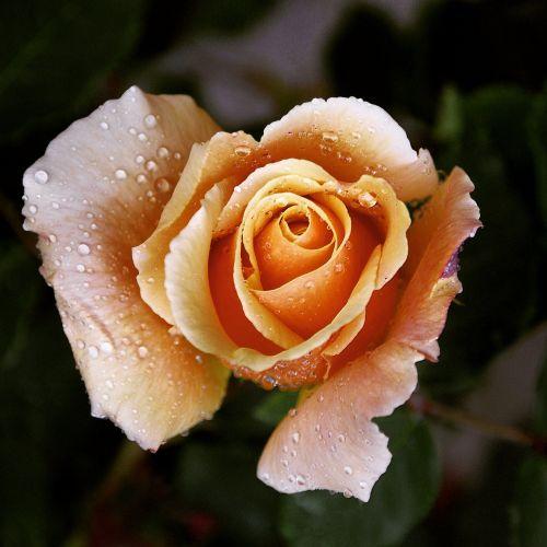 bella rosa my garden
