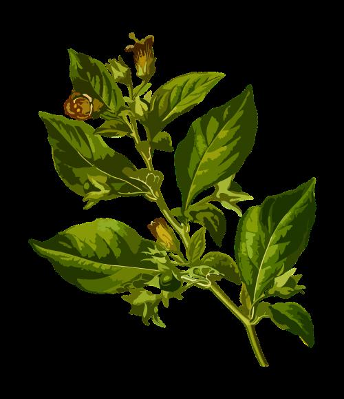 belladonna deadly herbal
